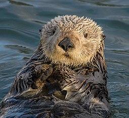 Sea_Otter_(Enhydra_lutris)_(25169790524)_crop